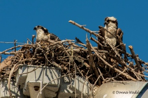 Osprey parent looking at its chick who is watching something in the sky