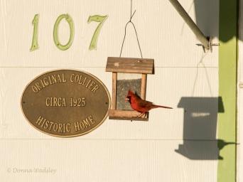 Northern Cardinal introducing home circa 1925