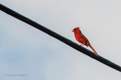 Northern Cardinal (male)
