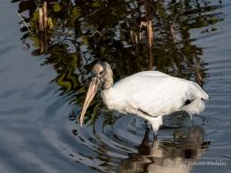 Wood Stork 07