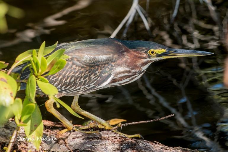 Green Heron Stalk 02