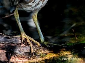 Green Heron Feet