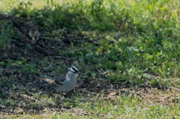 White-crowned Sparrow who would not step out of the shadow!