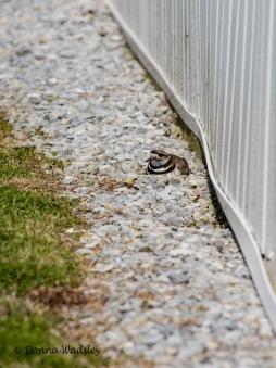 Killdeer incubating eggs