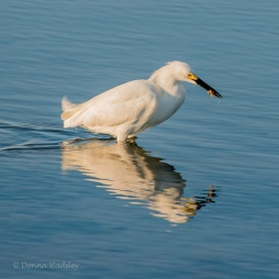 Snowy Egret with crustacean