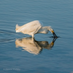 Snowy Egret washing its snack