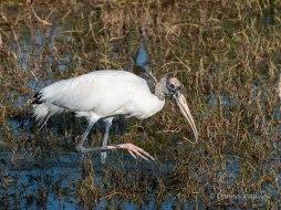 Wood Stork 09