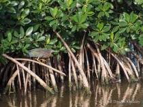 Green Heron Stalk 01