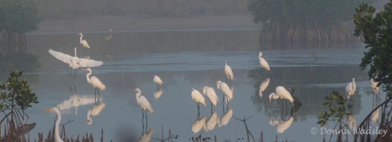 Great Egrets, Great Blue Heron, Cormorant