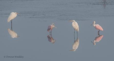 Great Egrets, Roseate Spoonbills