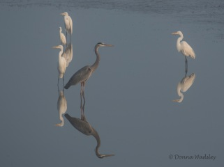 Great Egrets, Great Blue Heron