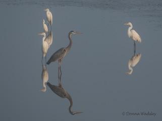 Great Egrets, Great Blue Heron