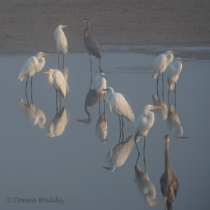 Great Egrets, Great Blue Herons