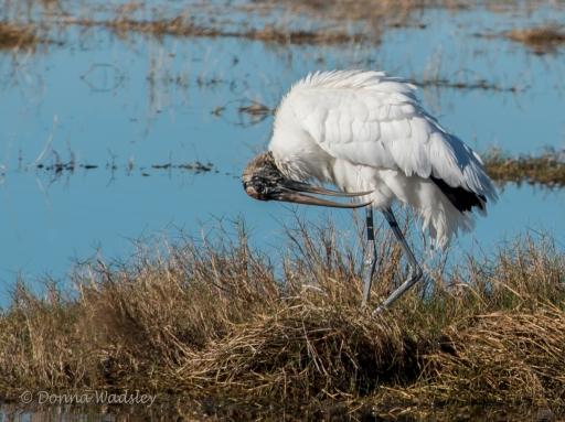 Wood Stork 05 preening