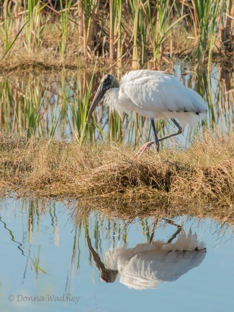 Wood Stork 01 reflection