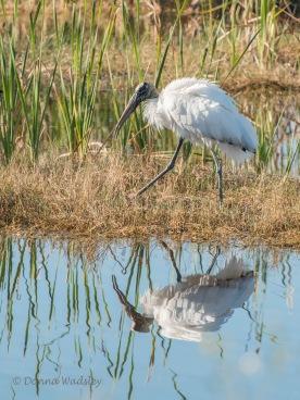 Wood Stork 12 reflection