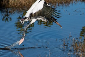 Wood Stork 02 taking off