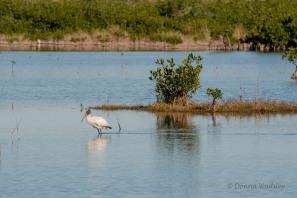 Wood Stork 03 habitat
