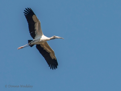 Wood Stork 11