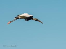 Wood Stork 08