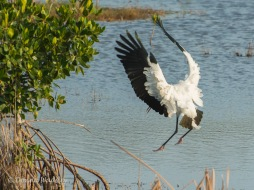 Wood Stork 06 landing