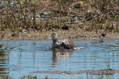 """Willet """"flashing a grin!"""""""