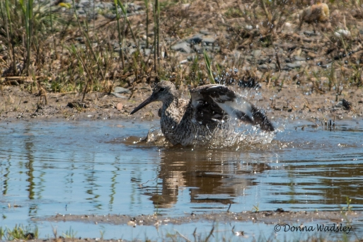 Willet taking a bath