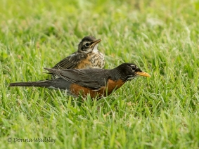 American Robin parent searching for insects for a waiting juvenile.