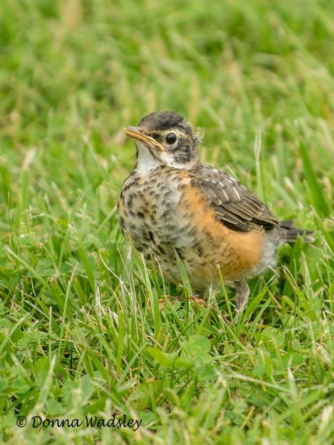 American Robin fledgling