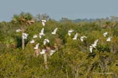 Snowy Egret Flock #1
