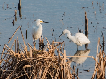 Little Blue Heron (right) compared alongside a Snowy Egret
