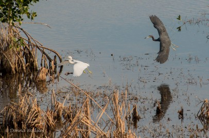 Adult Little Blue Heron following a juvenile Little Blue Heron