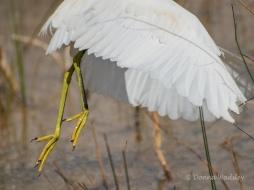 Snowy Egret Feet in Flight