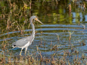 "Tricolored Heron, 23-28"" tall"