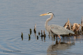 "Great Blue Heron, 38-54"" tall"