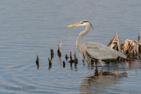 "Great Blue Heron, 38-54"" tall"