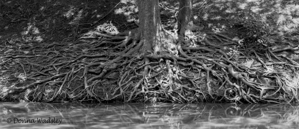 Tree roots reaching for the river