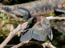 Green Heron Preening 2