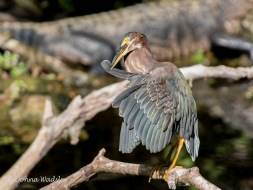 Green Heron Preening 3