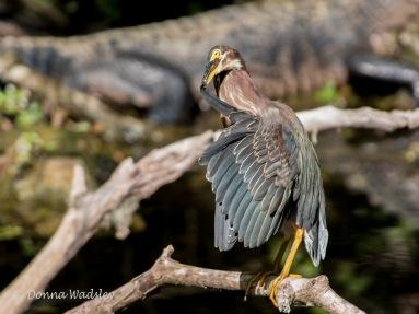 Green Heron Preening 4