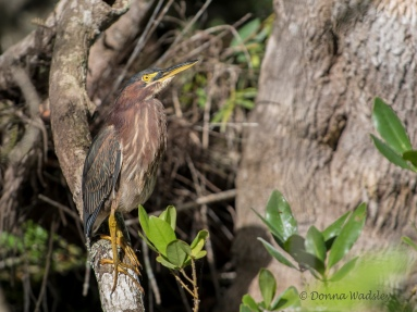 """Green Heron, 16-18"""" tall"""