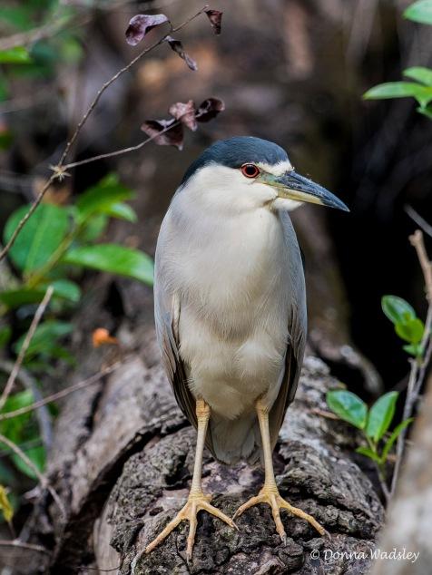 "Black-crowned Night Heron, 22-26"" tall"