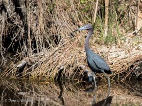 """Little Blue Heron, 22-29"""" tall"""