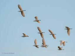 Snowy Egret Flock #2