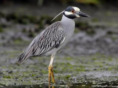 "Yellow-crowned Night Heron, 21-28"" tall, photo courtesy of Evan Lipton, Macaulay Library Cornell Lab of Ornithology"