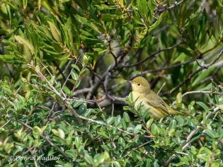 Yellow Warbler (female or immature)