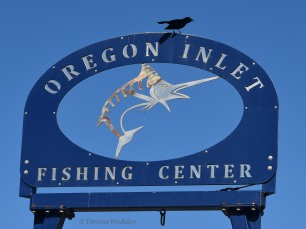 Boat-tailed Grackle on one of Oregon Inlet Fishing Center signs