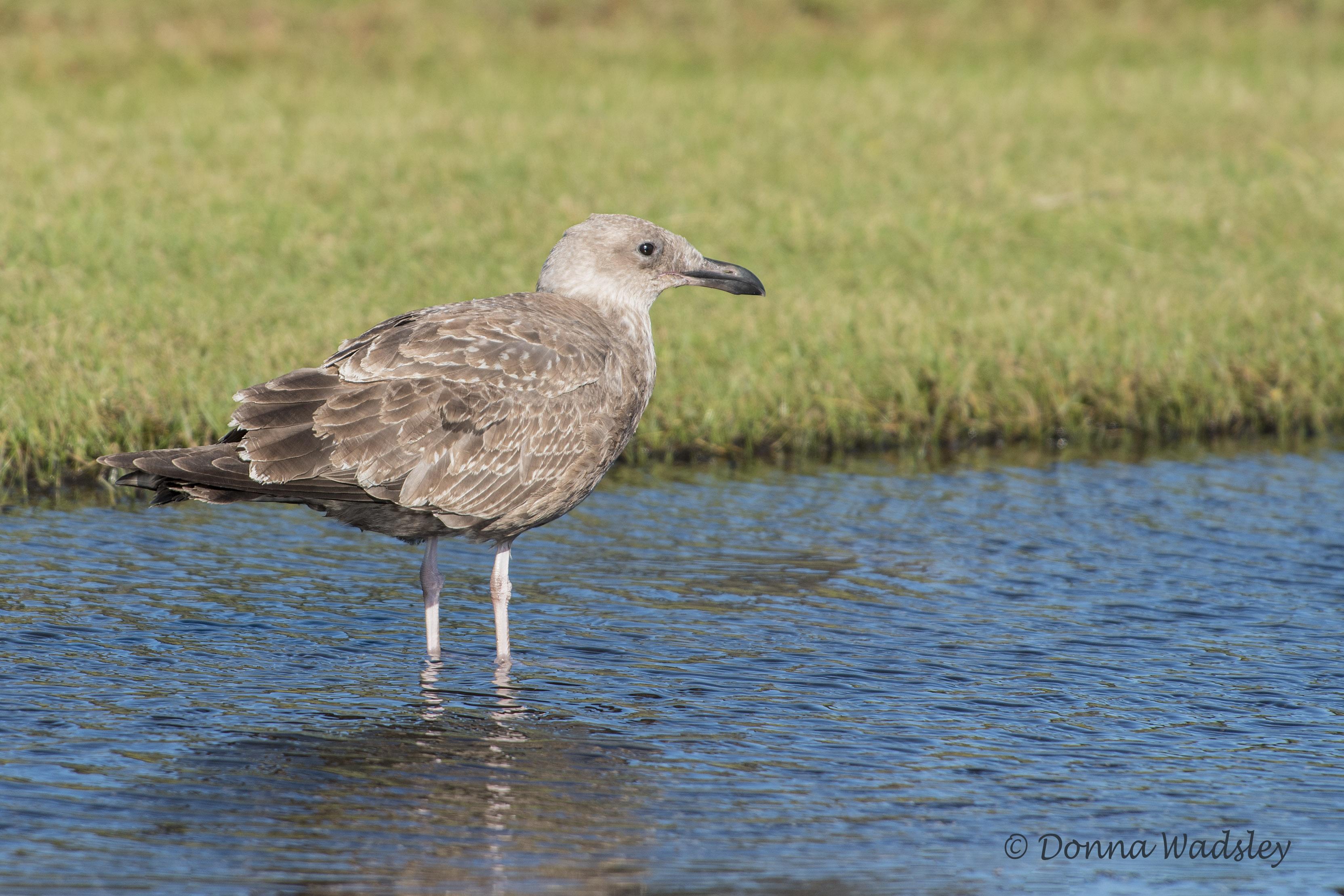 DSC_5517-1 101420 herring gull