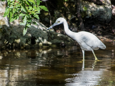 Little Blue Heron (immature in beginning stages of molting)