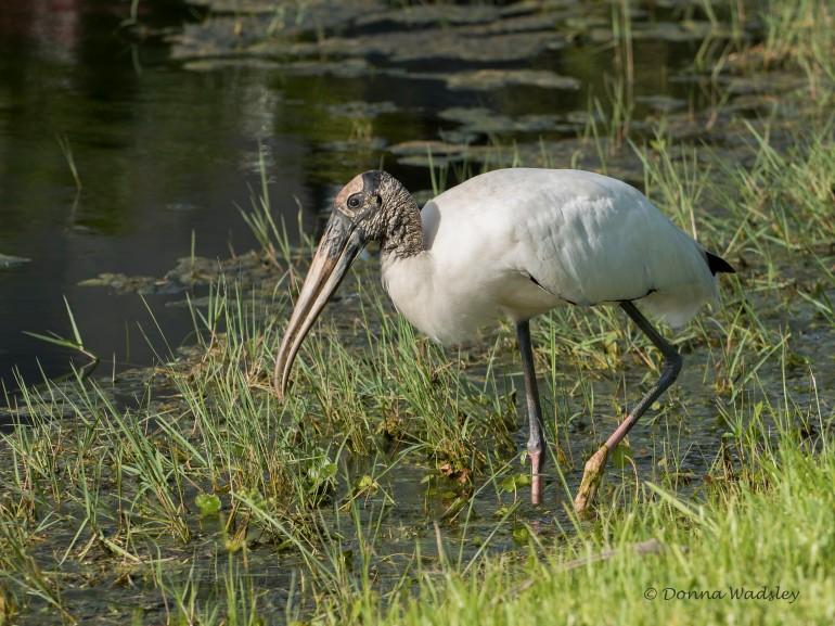Wood Stork 06